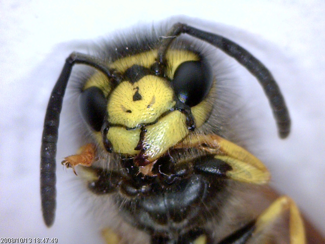Waspface